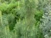 Кедр-весной1,8м-3000р