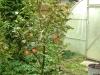 Яблоня-полукарлик-7лет-четырёхсортовая-Фаворит-Белый-Налив-Лобо-Спартан-10000р