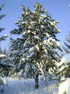 2-сосна-крупномер 8 метров в лесу