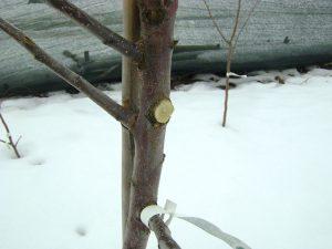 Обрезка ветви на кольцо