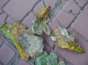Глеоспориоз-дуба---бурая-пятнистость--гриб-Gloeosporium-quercinum