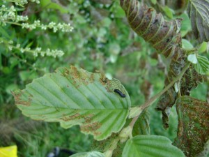 Личинка-ольхового-листоеда