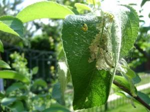 Яблонная-моль---личинки