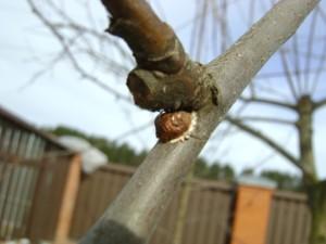 акациевая-ложнощитовка-на-яблоне