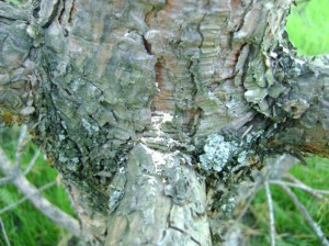 буровая-мука-на-мутовках-сосны---дерево-заселено-большим-сосновым-лубоедом
