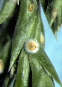 вредитель - кипарисовая щитовка