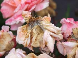 мицелий-гриба-на-цветке-розы---серая-гниль