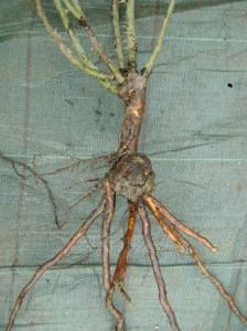 опухоль-на-корнях-розы--бактериальный-рак