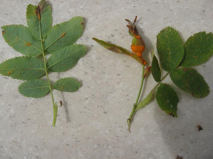 У роз чернеют листья и опадают листья
