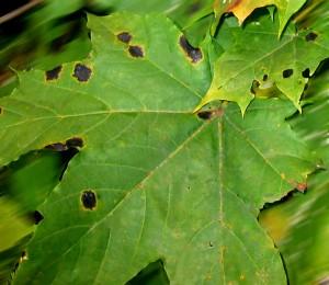 черная-пятнистость-листьев-клена---гриб-Rhytisma-acerinum-Fr