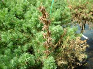шютте-хвои-лиственницы-гриб-Meria-laricis-Vuill