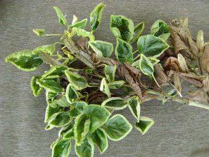 1-липа - последствия гербицидов - листья-лодочки