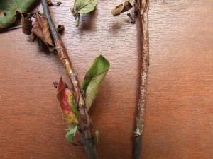 Некроз ветвей кизильника