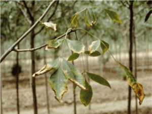 Увядание листьев ясеня - вертициллиоз