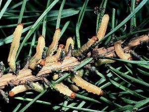 обыкновенный сосновый пилильщик Diprion pini