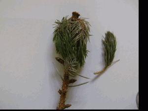 увядание хвои и ветвей на голубой ели