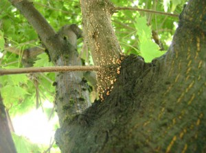 спороношение-возбудителя-на-клёне---гриб-Tubercularia-vulgaris