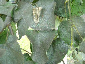 3-Чернь листьев липы - гриб Fumago vagans