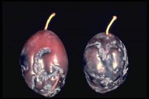 Шарка сливы - вирус Plum pox potyvirus