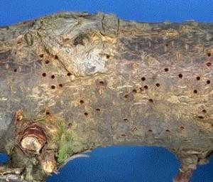Отверстия в коре от жука-короеда