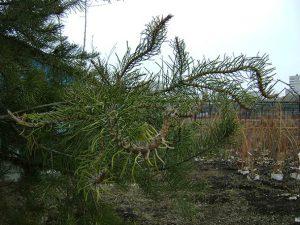 4-уродства побегов сосны - повреждение гербицидами
