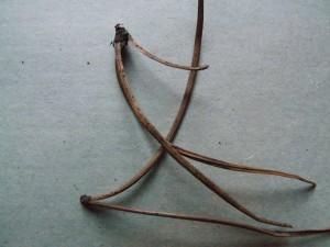 гибель хвои сосны - гриб Sclerophoma pithya