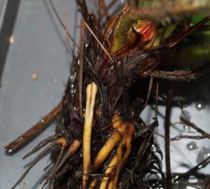 Фитофтороз-корней-земляники---Phytophthora-fragariae