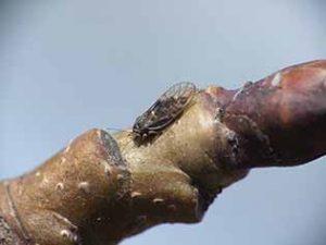 Медяница грушевая - взрослое насекомое