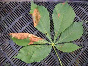Бурая пятнистость листьев каштана